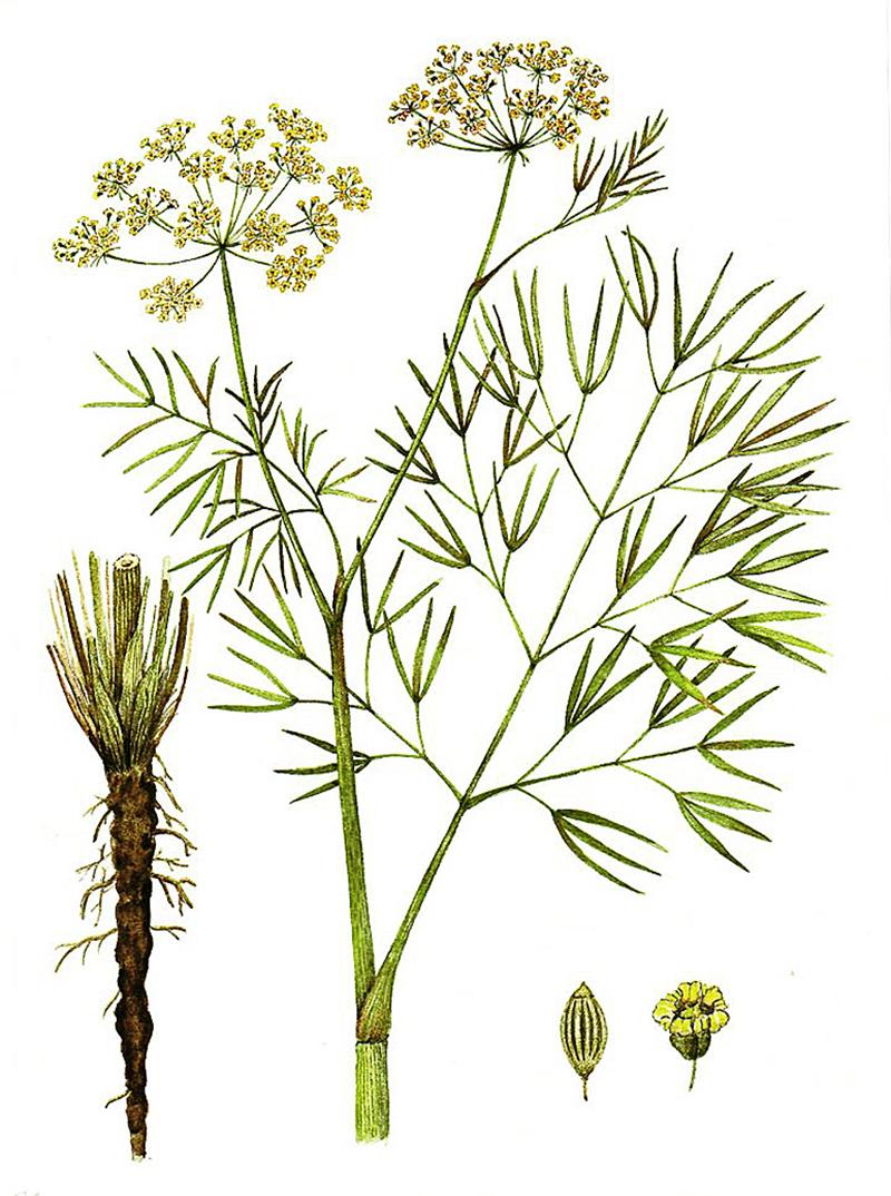 Горичник лекарственный (лат. Peucedanum officinale)