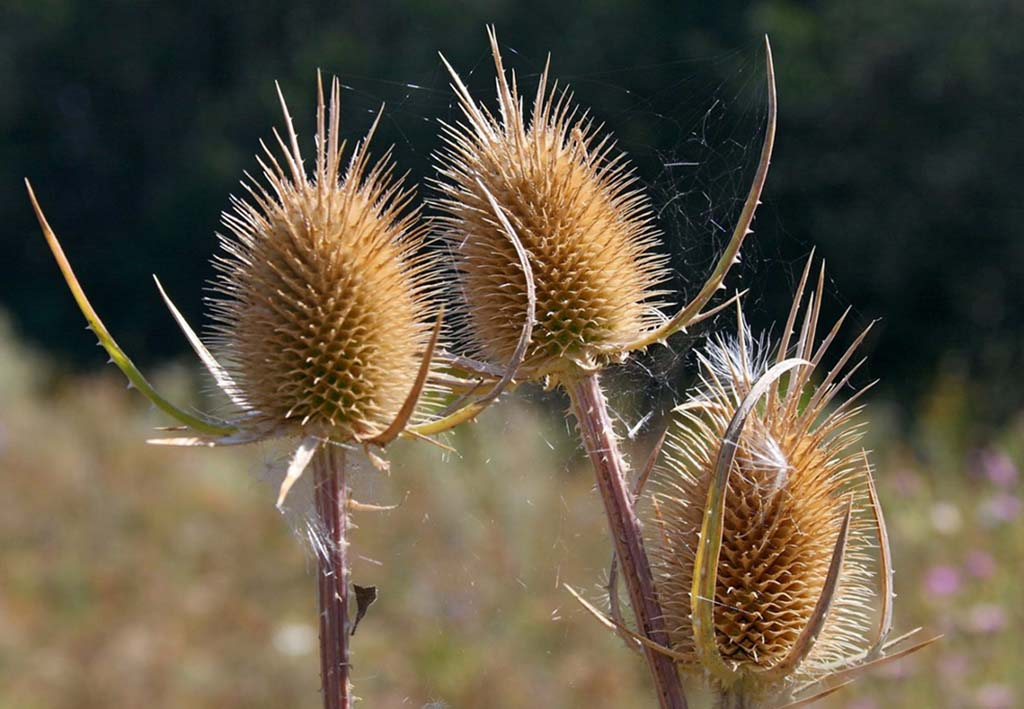 Ворсянка лесная (лат. Dipsacus fullonum)