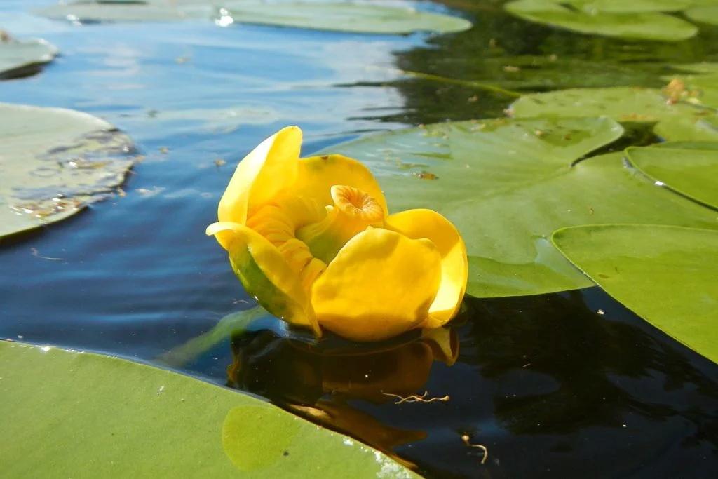 Кубышка желтая (лат. Nuphar lutea)