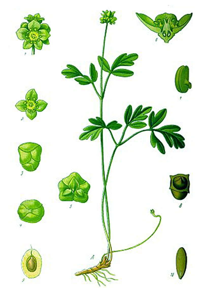 Адокса мускусная (лат. Adoxa moschatellina)