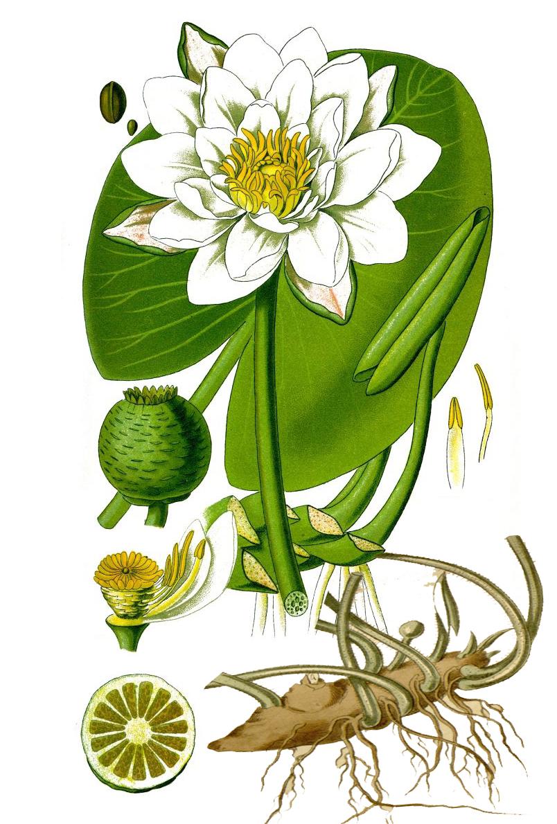 Кувшинка белая (лат. Nymphaea alba)
