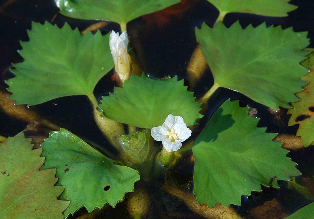 Рогульник плавающий, или Чилим (лат. Trápa nátans)