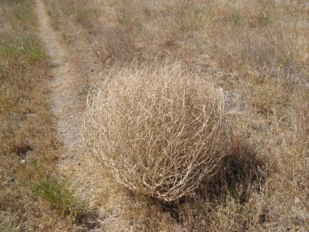 Качим метельчатый или перекати-поле (лат. Gypsóphila paniculáta)
