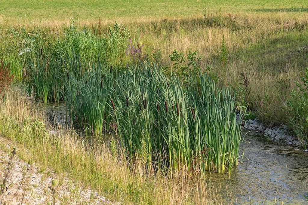 Рогоз широколистный (лат. Týpha latifólia)