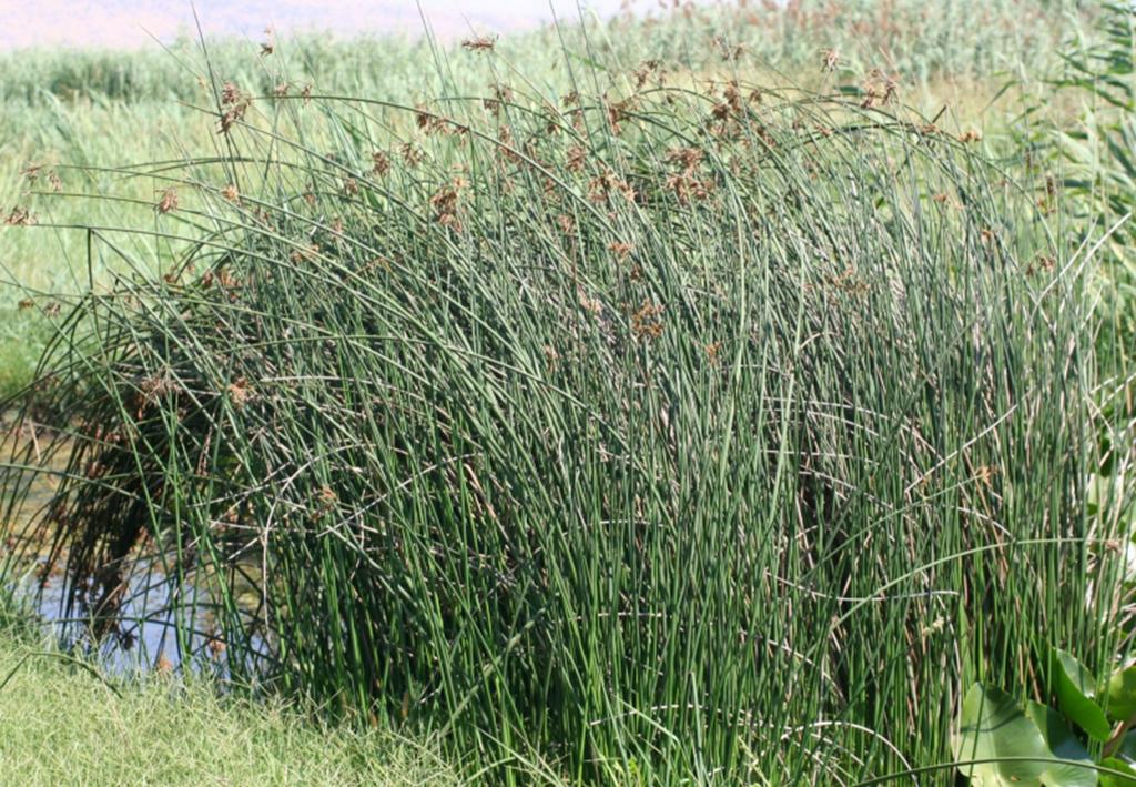 Камыш озёрный (лат. Schoenoplēctus lacūstris)