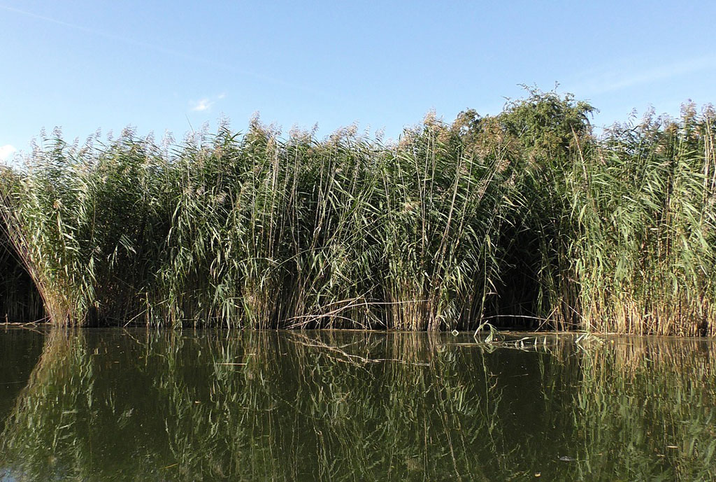 Тростник обыкновенный (лат. Phragmítes austrális)