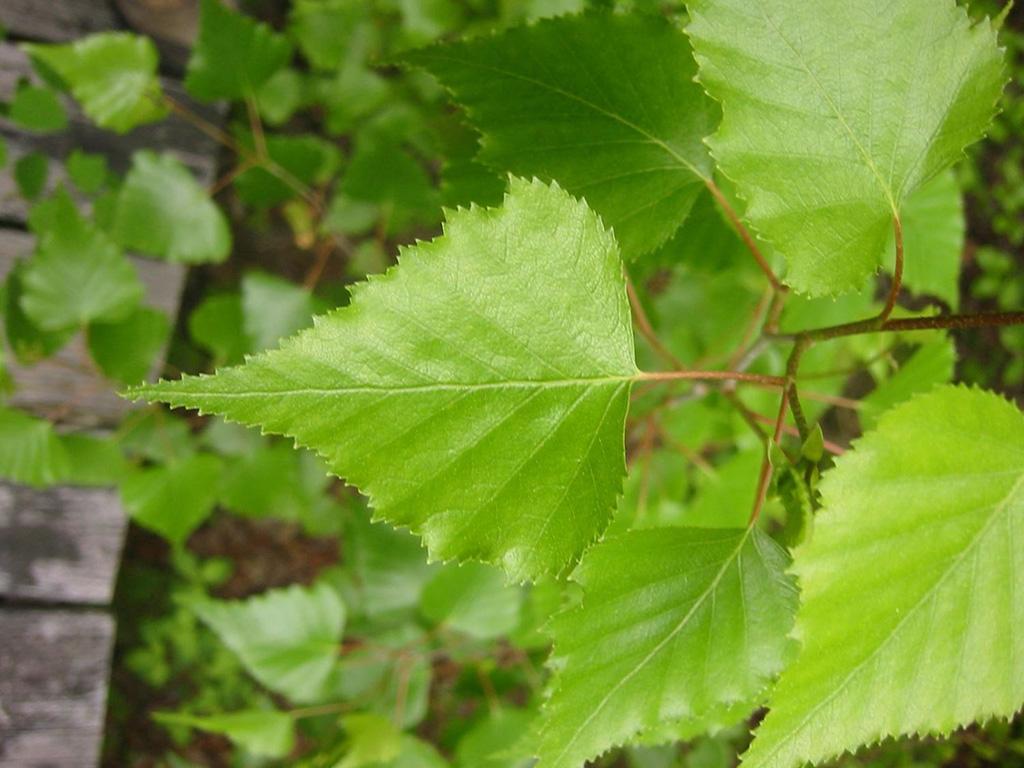 Тополь черный (лат. Pópulus nígra)