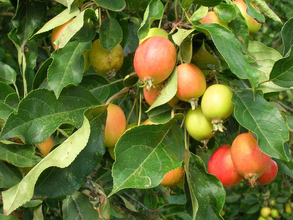 Яблоня лесная (лат. Málus sylvéstris)
