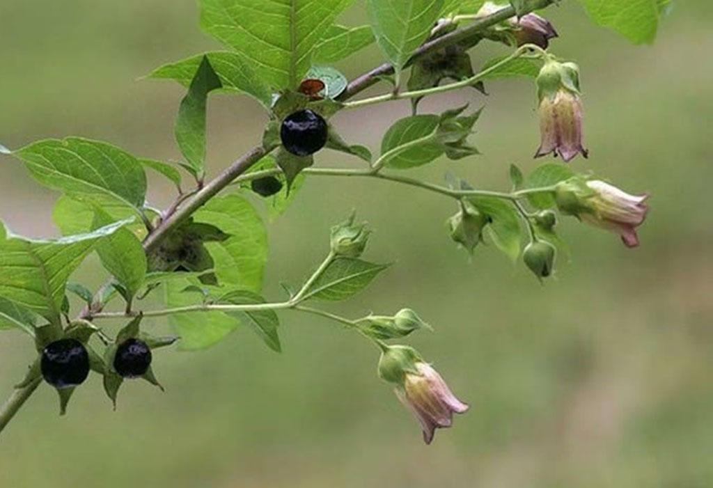 Белладонна (лат. Atrópa belladónna)
