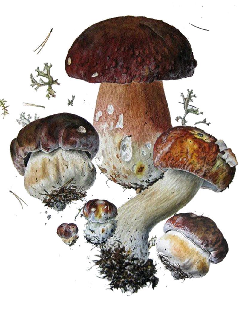 Белый гриб сосновый, или боровой (лат. Bolétus pinóphilus)