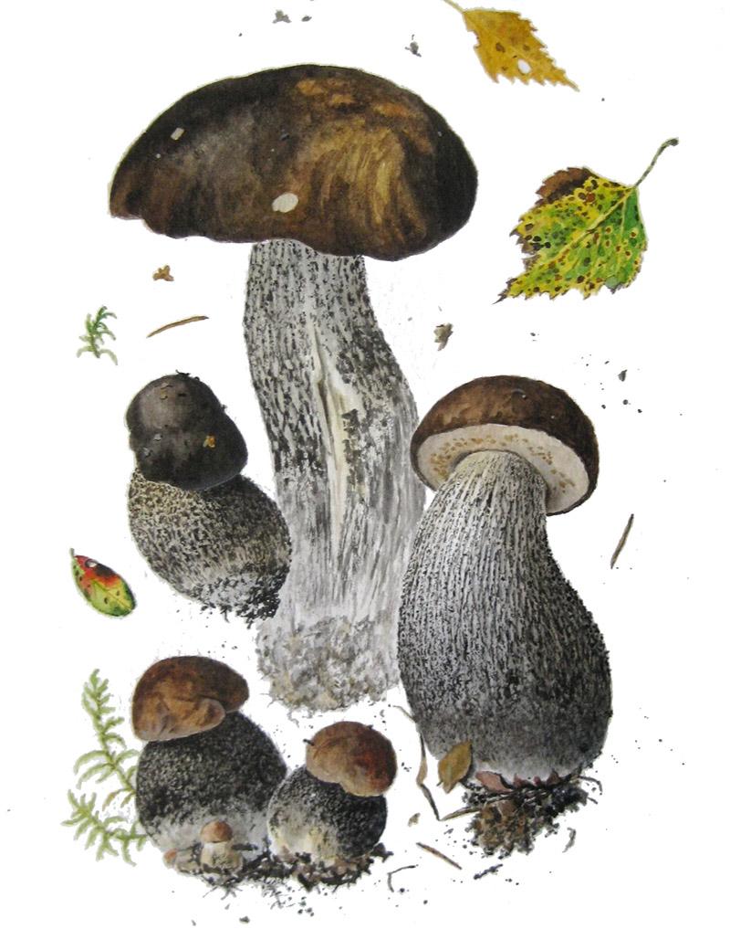 Подберезовик черный, или черноголовик (лат. Leccinum melaneum)