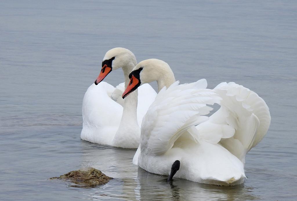Лебедь-шипун (лат. Cygnus olor)