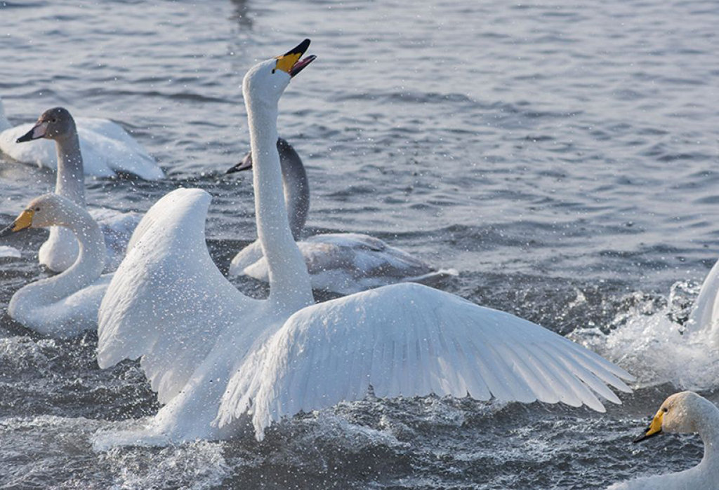 Лебедь-кликун (лат. Cygnus cygnus)