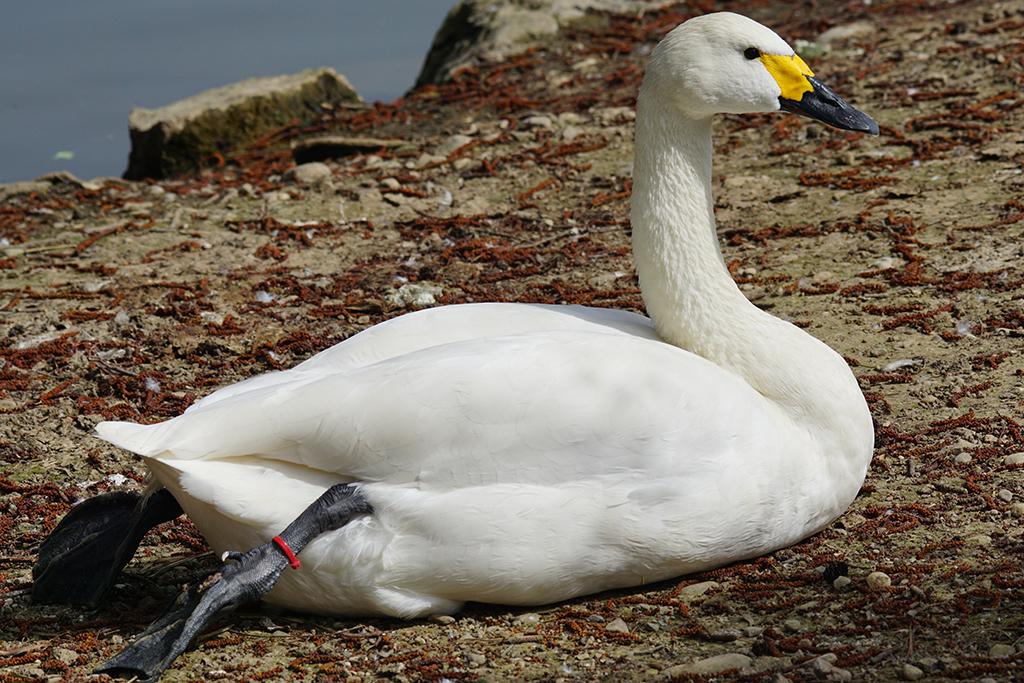Малый лебедь (лат. Cygnus bewickii)