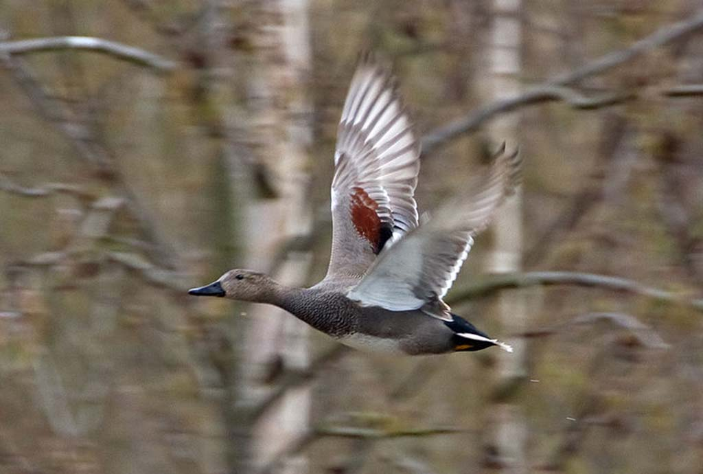 Серая утка (лат. Anas strepera)