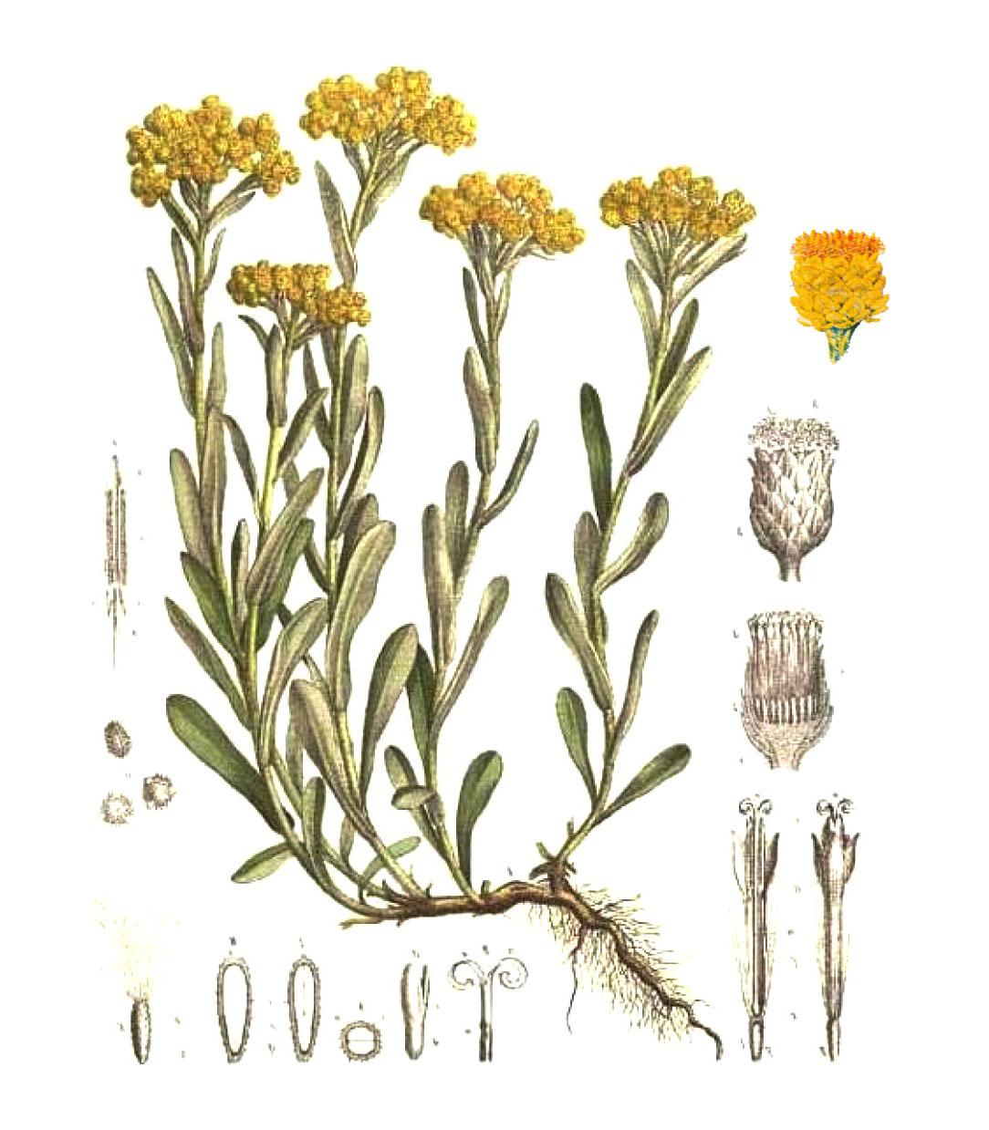 Бессмертник или цмин песчаный (лат. Helichrýsum arenárium)
