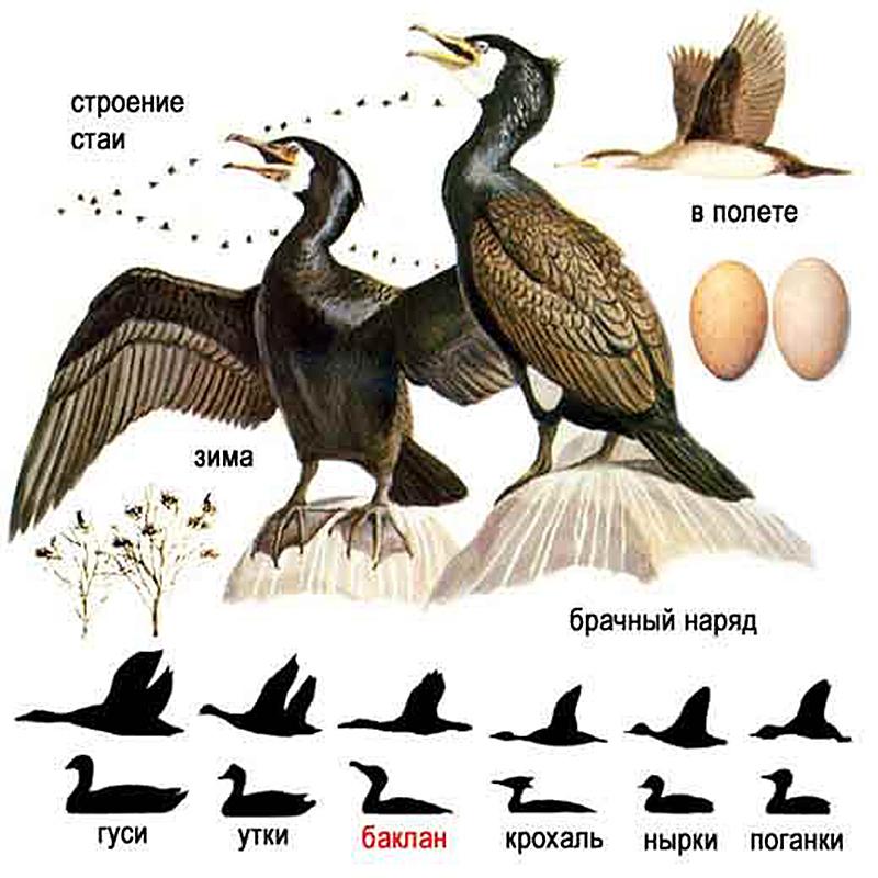Большой баклан (лат. Phalacrocorax carbo)