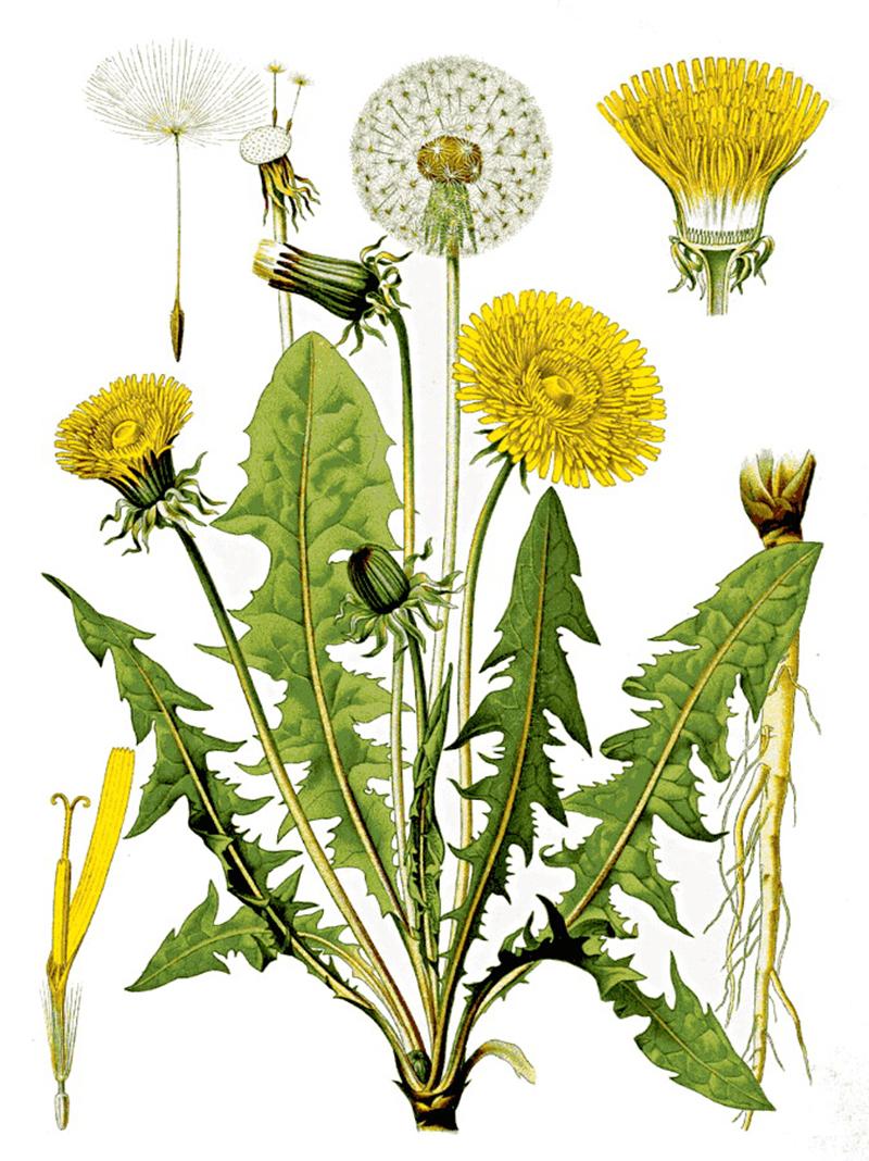 Одуванчик обыкновенный (лат. Taráxacum officinále)