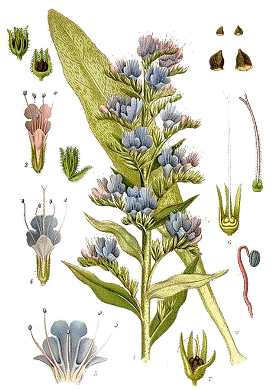 Синяк обыкновенный (лат. Échium vulgáre)