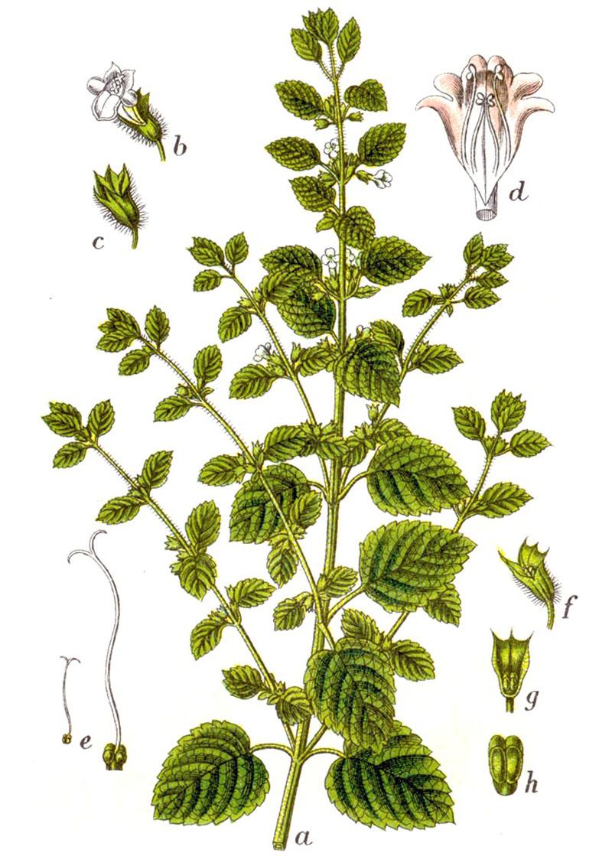Мелисса лекарственная (лат. Melissa officinalis)