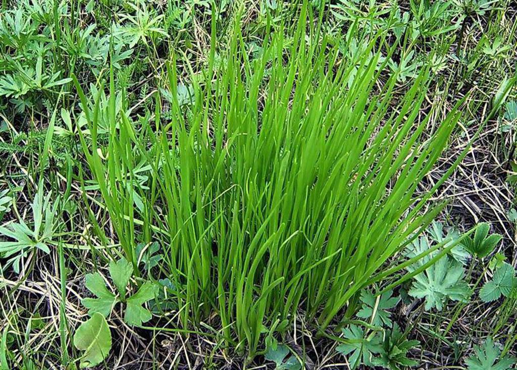 Лук угловатый  (лат. Állium angulósum)