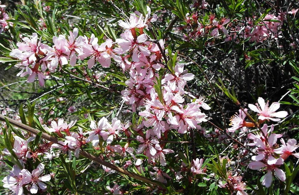 Миндаль степной (лат. Prunus tenella)