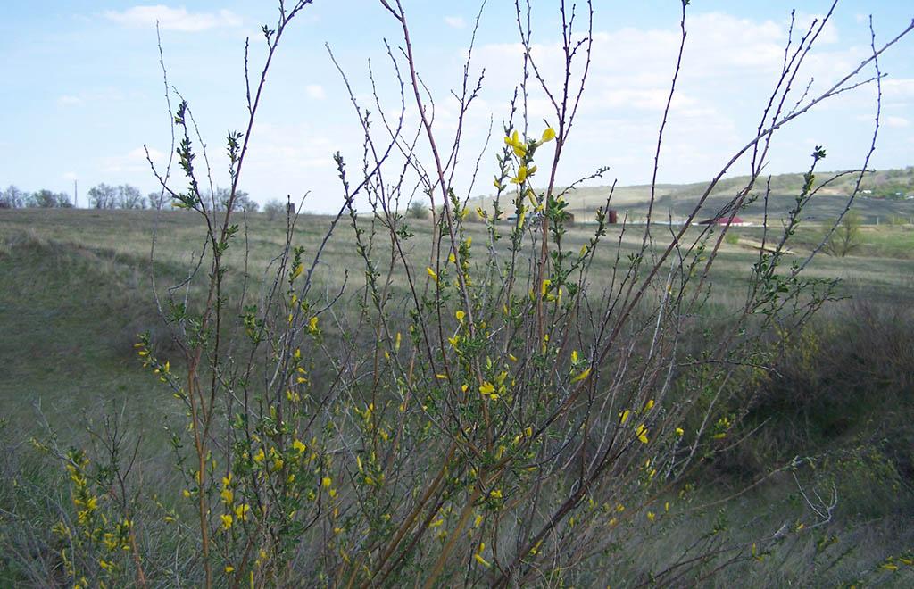 Ракитник русский (лат. Chamaecýtisus ruthénicus)