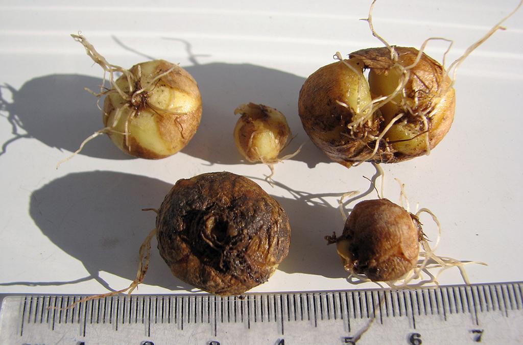 Хохлатка плотная (лат. Corydalis solida)