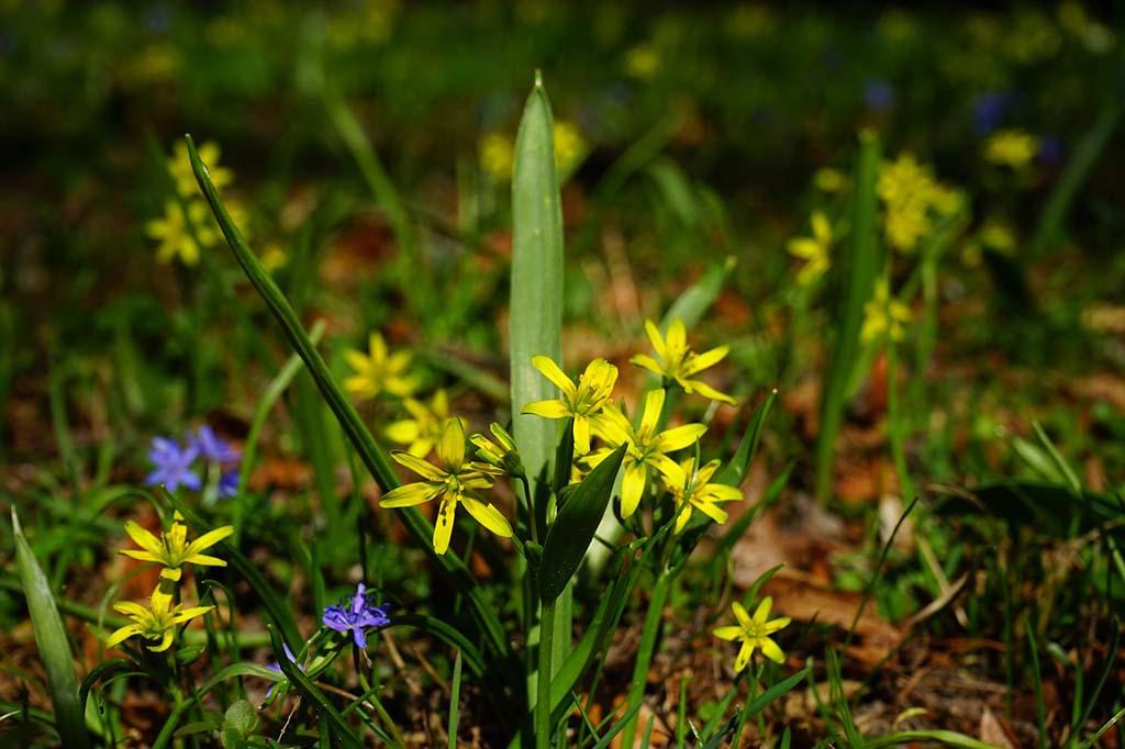 Гусиный лук жёлтый (лат. Gágea lútea)