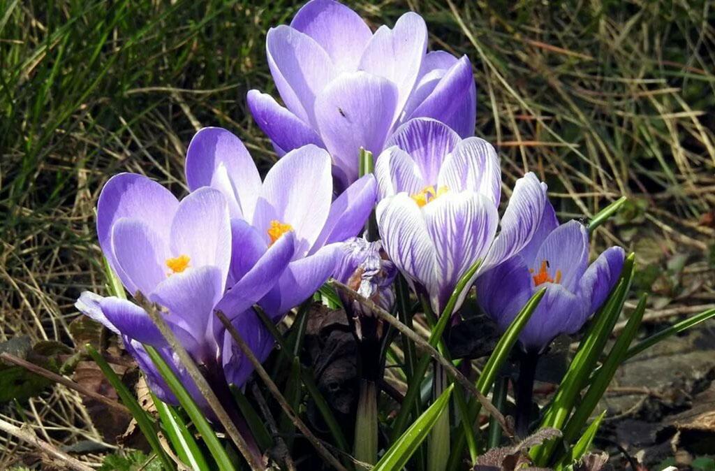 Крокус весенний (лат. Crocus vernus)