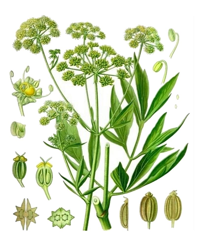 Любисток лекарственный (лат. Levisticum officinále)