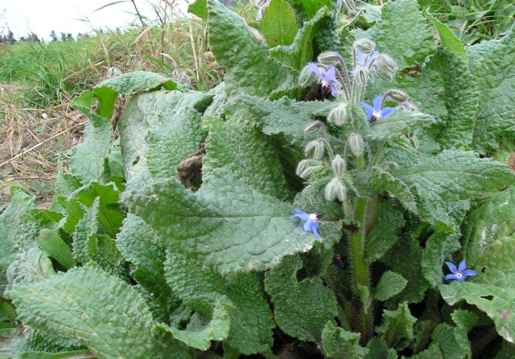 Огуречная трава, или Бораго (лат. Borago officinális)