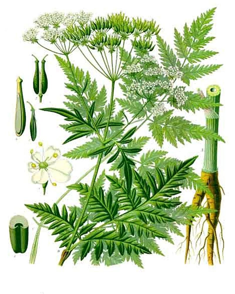 Купырь лесной (лат. Anthríscus sylvéstris)
