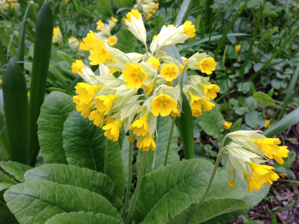 Первоцвет весенний, или Примула весенняя (лат. Prímula véris)