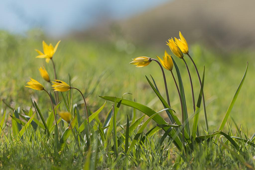Тюльпан Биберштейна (лат. Túlipa biebersteiniána)