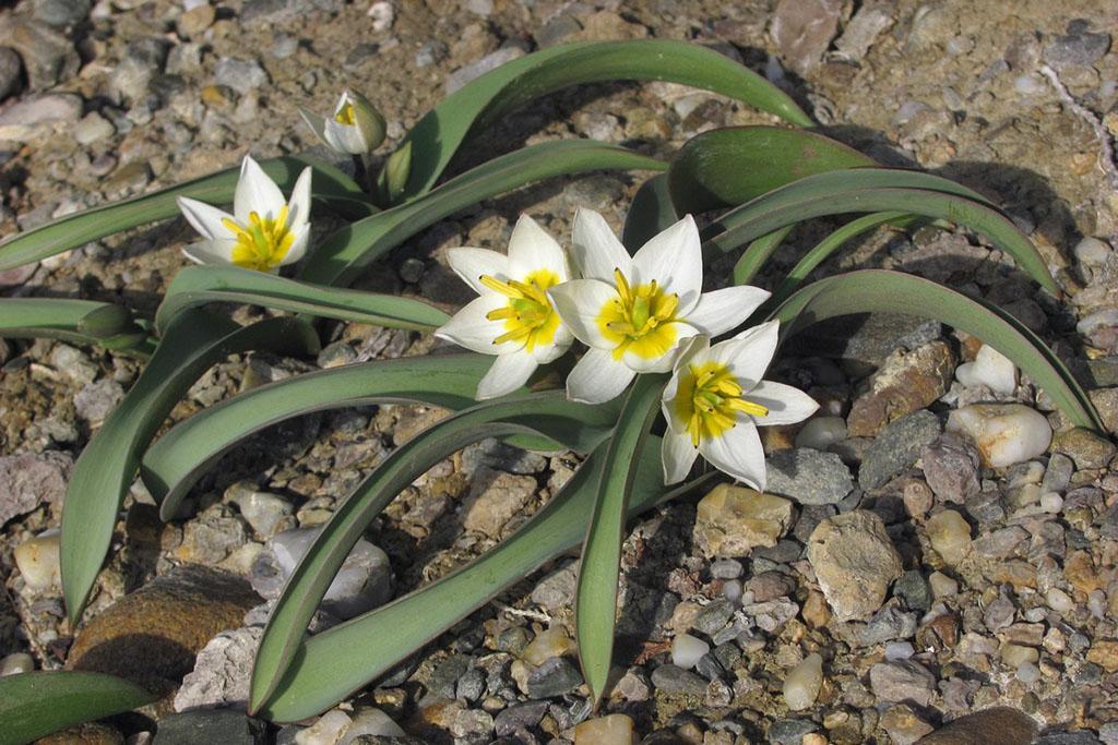 Тюльпан двуцветковый (лат. Tūlipa biflōra)