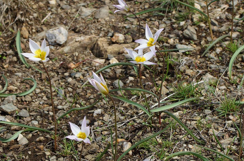 Тюльпан поникающий (лат. Túlipa pátens)