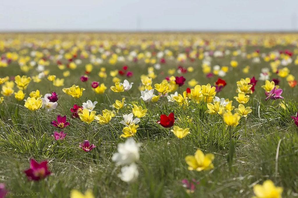 Тюльпан Шренка (лат. Tulipa schrenkii)