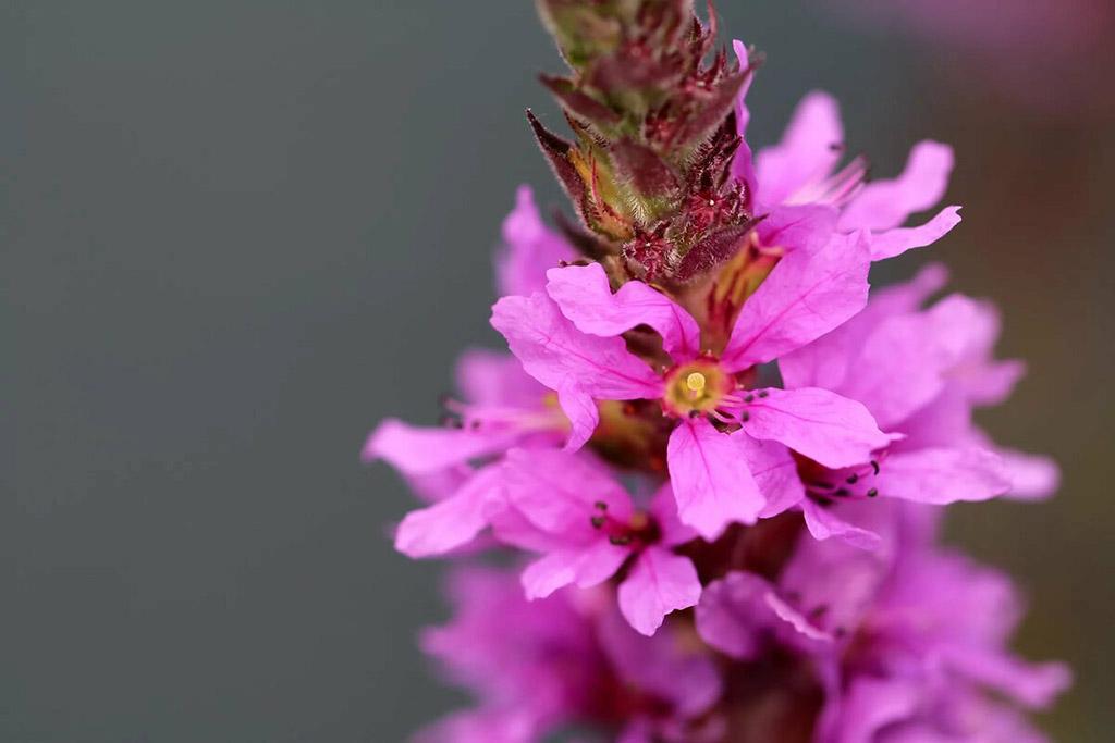 Дербенник иволистный, или Плакун-трава (лат. Lýthrum salicária)