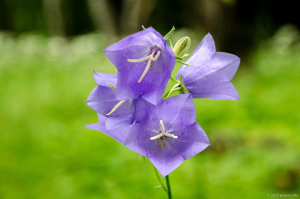 Колокольчик персиколистный (лат. Campánula persicifólia)
