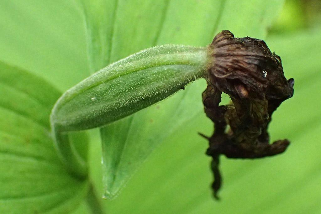 Венерин башмачок настоящий (лат. Cypripedium calceolus)