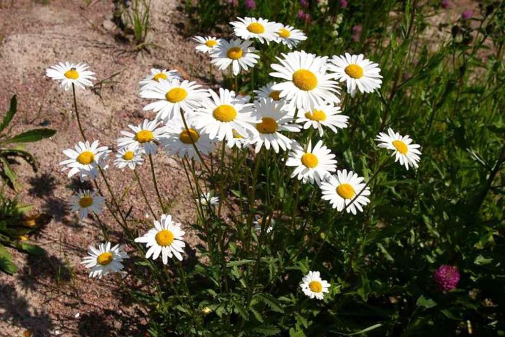 Нивяник обыкновенный, или Поповник (лат. Leucanthemum vulgare)