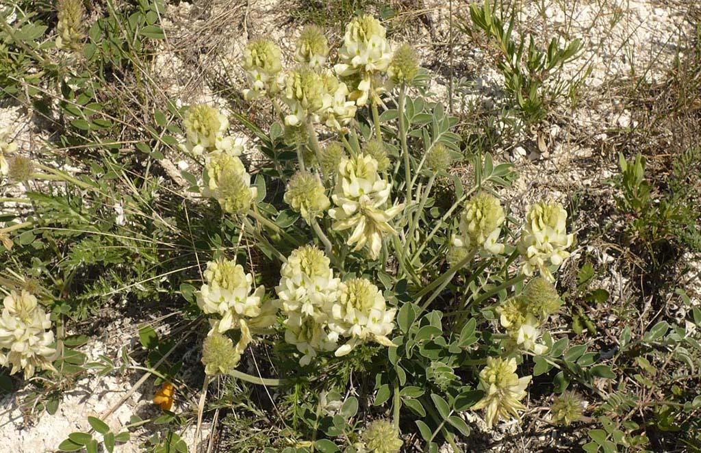 Копеечник крупноцветковый (лат. Hedysárum grandiflórum)