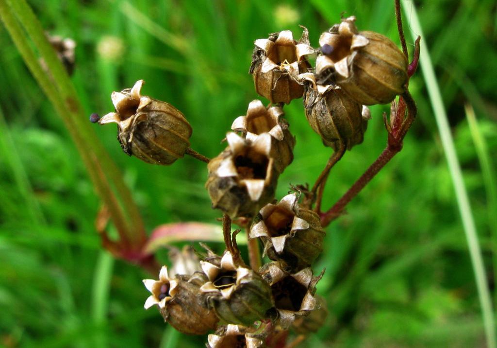 Кукушкин цвет обыкновенный (лат. Lýchnis flos-cúculi)
