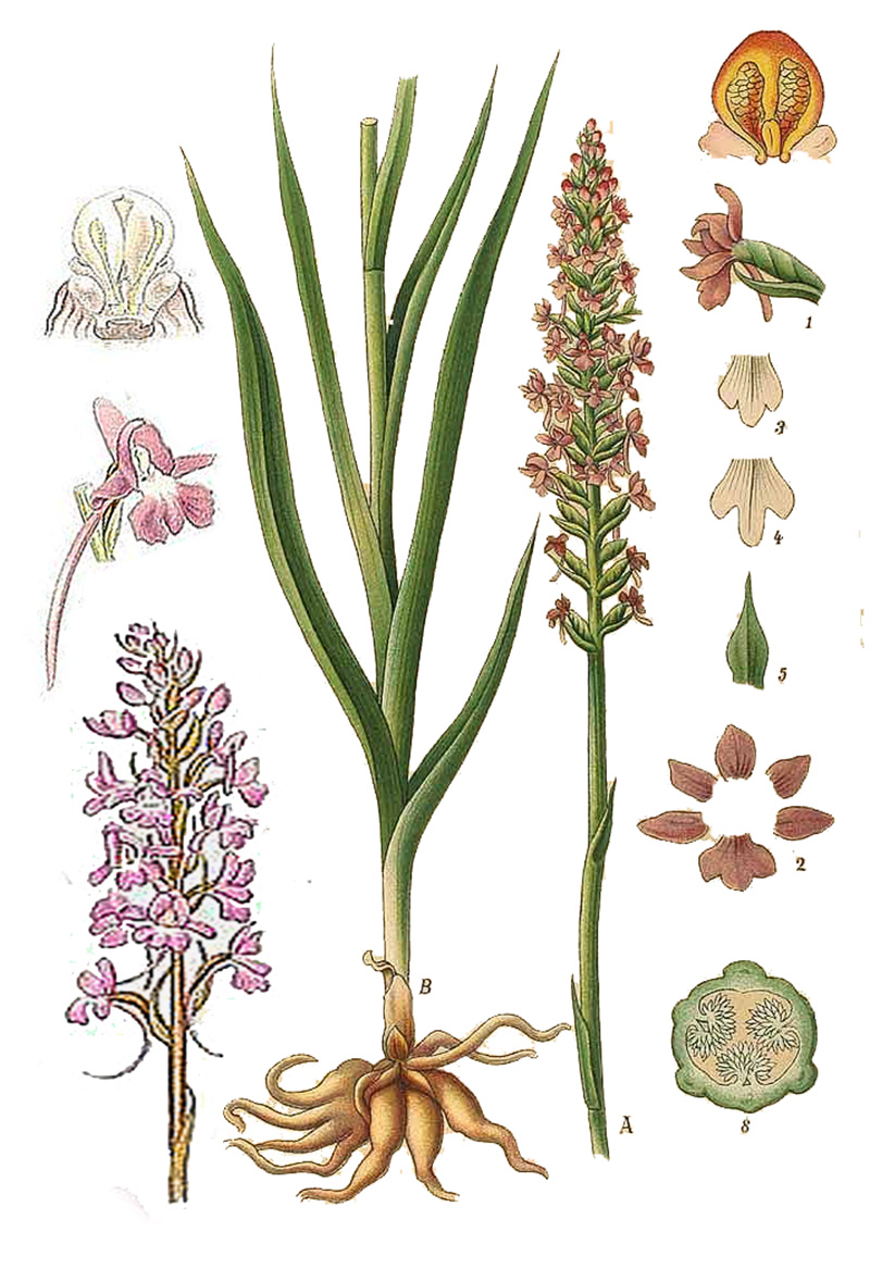Кокушник длиннорогий (Gymnadenia conopsea)