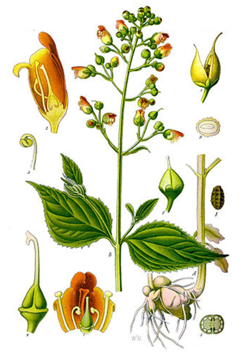 Норичник узловатый (лат. Scrophularia nodosa)