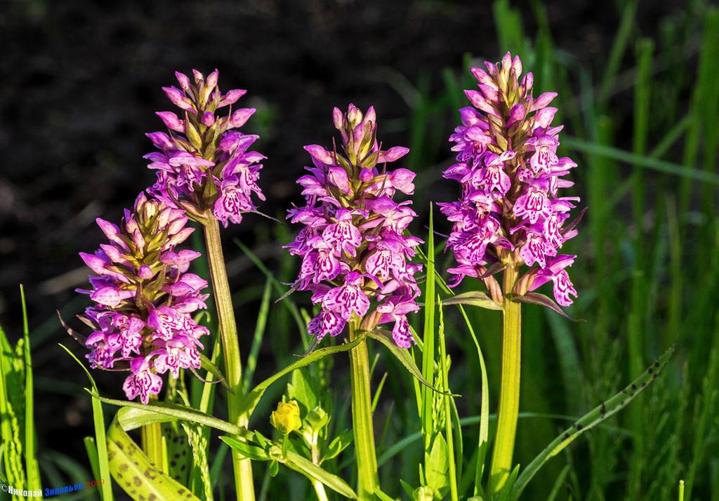 Ятрышник пятнистый (Orchis maculata)
