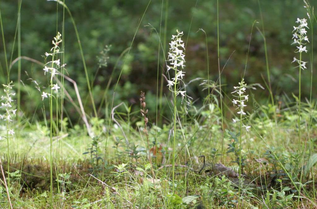 Любка двулистная, или кукушкины слезки (лат. Platanthéra bifólia)
