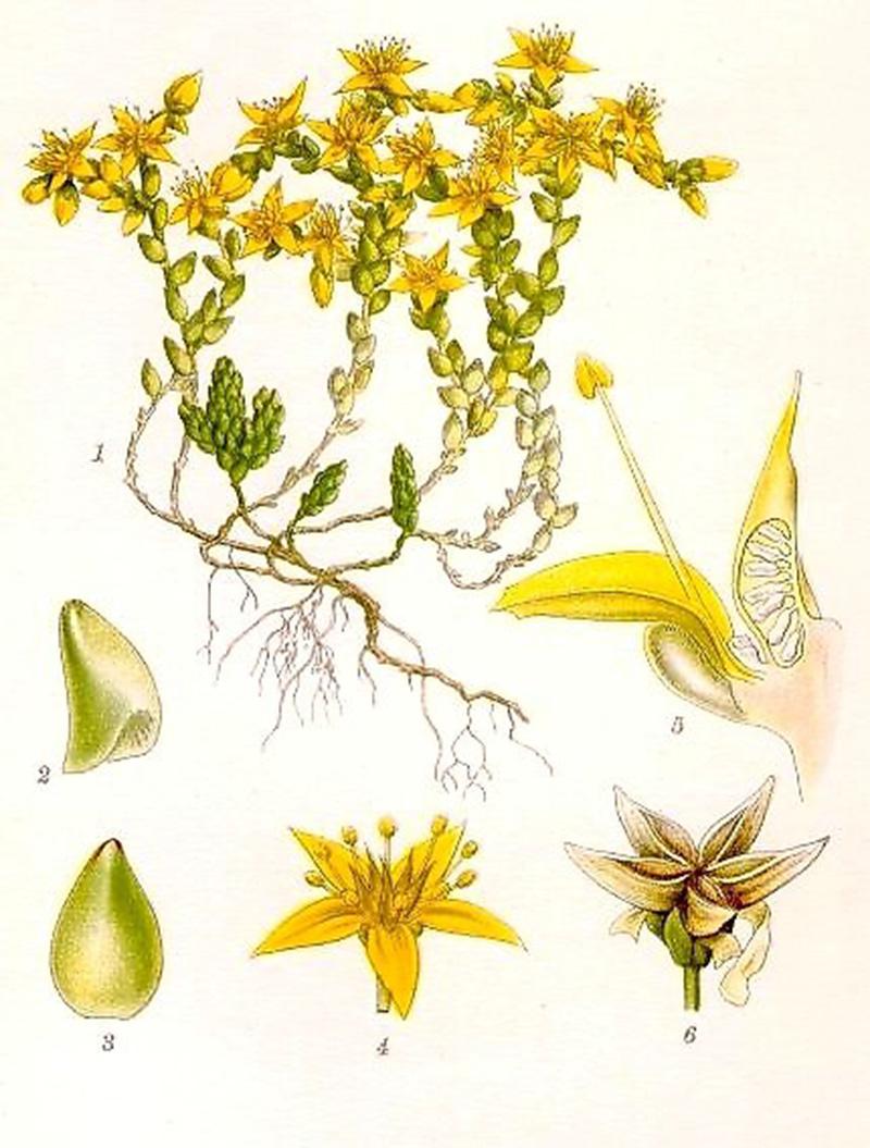 Очиток едкий (лат. Sédum ácre)