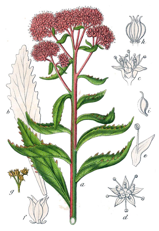 Очиток обыкновенный, или заячья капста (лат. Sédum teléphium)